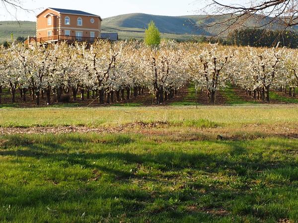 Prosser Blossums, 4-15